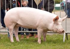 Farm Animals, Animals And Pets, Cute Animals, Large White Pig, Raza Yorkshire, Royal Welsh Show, Pig Showing, Pig Breeds, Cute Piglets