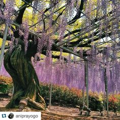 One of the greatest photographers #Repost @aniprayogo with @repostapp.  #fujitree #wisteriatree #fujiflower #wisteria #wisteriaflower #purple #purpleflowers #ashikaga #ashikagaflowerpark #japan #japan2016 #spring #springinjapan #japanwireless by japanwirelesstokyo