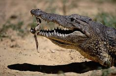 A Nile crocodile gently carries its newly hatched young in its mouth, Kenya
