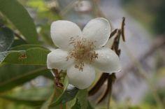 flor del arbol de guayaba DFC .