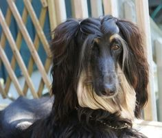 What are you even waiting for? Print this shizz out and bring it to the nearest salon. Afghan Hound Puppy, Hound Dog, Dog Haircuts, Dog Hairstyles, Double Ponytail, What Dogs, Dogs Of The World, Beautiful Dogs, Beautiful Pictures