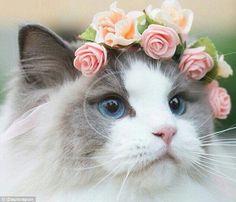 """حصلت """"اورورا"""" على لقب اجمل قطة في العالم،و لديها في انستاقرام اكثر من  87000 متابع ..   """