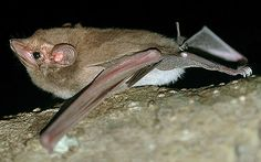 Coleura afra (Peters, 1852)  African Sheath-tailed Bat - Photograph by B. Stanley.