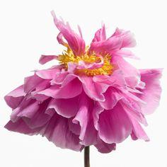 Paul Lange, Big Blooms