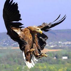 El Águila a los 40