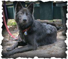 Blue bay Shepherd Puppies | 1374985534.png