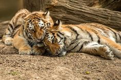 Tigers by Colin Langford