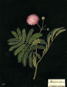 Botanical paper flowers, 1700-1788 | Mary Delany