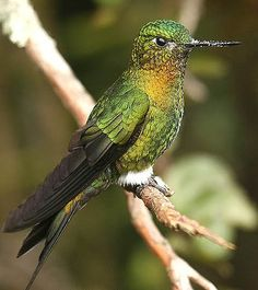 Exotic Hummingbird Pictures: Golden-Breasted Puffleg