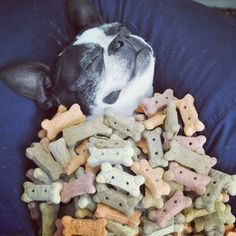 Caption this Picture!! - http://www.bterrier.com/boston-terrier-dog-in-heaven-sleeping-with-all-the-cookie/