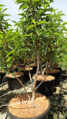 prunus lusitanica angustifolia