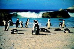 Boulders Beach, Simonstown, Cape Town, South Africa!