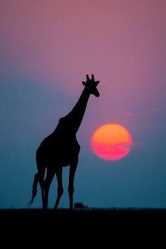 Giraffe silhouette next to a red Sun. Beautiful pic!