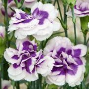 Dianthus Blueberry Cream border carnation blueberry cream Care Plant Varieties & Pruning Advice