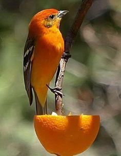 Beautiful bird and half an orange make a striking picture.