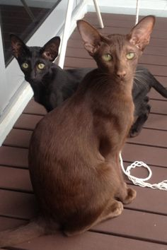 Havanna Brown and Black Ori. My oriental cats Pretty Cats, Beautiful Cats, Animals Beautiful, I Love Cats, Crazy Cats, Cool Cats, Cornish Rex, Devon Rex, Sphynx