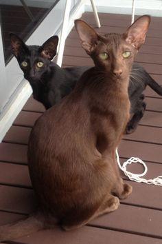 My oriental cats http://www.kittyinny.com/