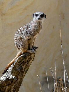 #suricate #suricat