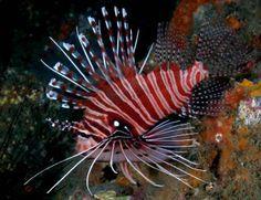 Spotfin Lionfish (Pterois antennata)  http://marinefishdirect.com.au/marine-fish/lionfish-and-scorpions/spotfin-lionfish-pterois-antennata.html