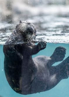 Otter at the Vancouver Aquarium, Stanley Park. By colink.