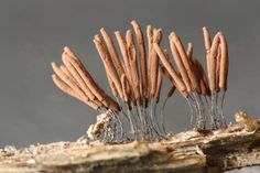 Slime mould species Stemonitis pallida