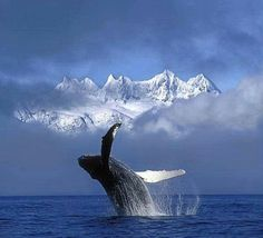 """Humpback Whale Breaching in Alaska """" Whale breaching with mountain background """" I love whales from Beatiful Planet Earth. Such a awesome sight! Beautiful Creatures, Animals Beautiful, Mountain Background, Save The Whales, Water Animals, Wale, Ocean Creatures, Humpback Whale, Killer Whales"""