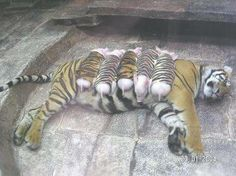 The real story behind the mama tiger with a litter of piglets: still cute, but not quite so emotional.