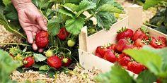 Seznam - najdu tam, co neznám Pizza Dessert, Nutrition, Healthy Recipes, Strawberry, Garden, Flowers, Food, Harvest Grill, Strawberry Fruit