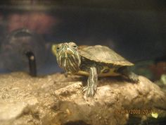 ♥ Pet Turtle ♥ What a happy little fellow. We just love turtles :)