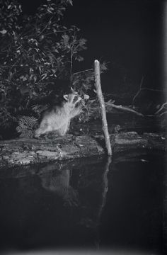 """George Shiras ~ In the Heart of the Dark Night  National Geographic has described him as """"the father of wildlife photography"""" for his early use of camera traps and flash photography.  In 1935, Shiras published Hunting Wild Life with Camera and Flashlight: a Record of Sixty Five years' Visits to the Woods and Waters of North America, a two-volume set of over 960 of his wildlife photographs including some of the earliest 'flash' photography."""