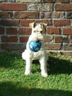 Ma craspouette un amour de   Fox terrier