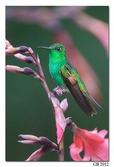 Stripe-tailed Hummingbird - ©Glenn Bartley http://glennbartley.com/naturephotography/birds/STRIPE-TAILED%20HUMMINGBIRD.html