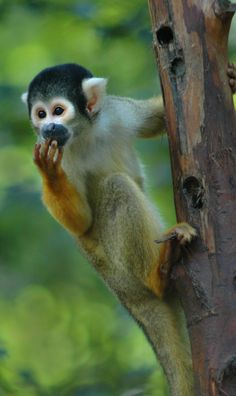 Squirrel Monkey– Amazon Monkeys Seen on a River Cruise #Amazon #Rainforest #Jungle #Monkeys