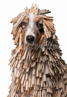 Australian shepard puppy covered in clothes pins.  It's not really funny!  Poor baby!