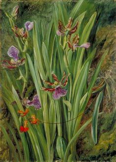 Brazilian Orchids by Marianne North, c.1873