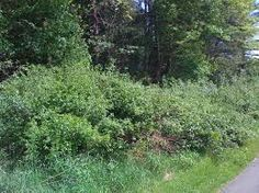 canadian forest bushes - Google Search