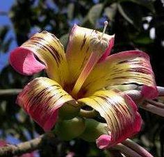 Цветы хоризии  великолепной.  http://annamilana.livejournal.com/107783.html