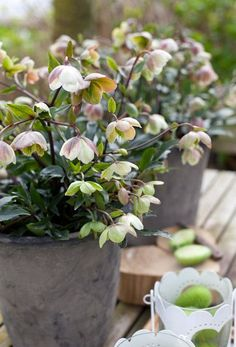 Helleborus × sahinii 'Winterbells'  Every winter I remember the appeal of these plants.