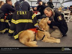 canine heroes, COMFORT DOGS (Emotional therapy dogs), such as this golden retriever, help soothe those affected by the terrorist attacks of September 11, 2001. Similar to search-and-rescue dogs, comfort dogs travel to disaster scenes to aid relief efforts. Studies show that people experience physiological changes—such as a drop in heart rate and blood pressure—when they pet animals.