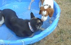 Puppies, Pools & Pupsicles http://www.judethepuppynanny.com/puppy-training-tips/puppies-pools-pupsicles/?utm_campaign=coschedule&utm_source=pinterest&utm_medium=Jude%20LeMoine%20(Puppy%20Nanny%20Tips)&utm_content=Puppies%2C%20Pools%20and%20Pupsicles