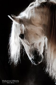 white horse with beautiful long mane