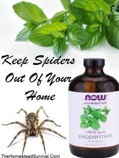 Keep Spiders Out Of Your Home – Peppermint » The Homestead Survival Homestead Survival, Peppermint Oil Spiders, Peppermint Spider Spray, Pest Control, Cleaning Solutions, Cleaning Tips, Cleaning Supplies, Oil Recipe, Get Rid Of Spiders