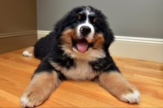 Norman the Bernese Mountain Dog puppy