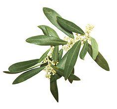 olive-fiori-di-bach