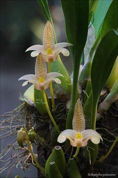 Bulbophyllum palawense