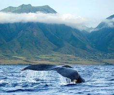 Whale Watching  Visit during whale  watching season for an unforgettable experience hearing the whales via hydrophone before seeing them breaching around you. #hawaii #hawaiianadventure #traveltheworld  #exotictravel #worldheritage  #travelinstyle  #worldbeauty #marinelife