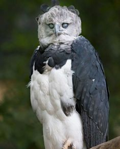 Photography by © (Johannes Wapelhorst). This Harpy Eagle (Harpia Harpyja), one of the largest birds, knows how to look scary. All Birds, Birds Of Prey, Love Birds, Scary Birds, Pretty Birds, Beautiful Birds, Animals Beautiful, Exotic Birds, Colorful Birds