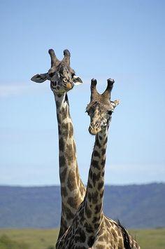 NIKON D2Xs - _PV23108 | Flickr - Photo Sharing! Two males Giraffes ,Kenya, Africa...