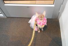 Sphynx -Coco-Mau Aqua on the leash in a bank lobby