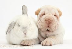 Shar Pei pup and white rabbit